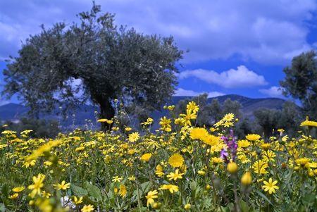 galilee:  wild flowers in olive grove in the Galilee, Israel