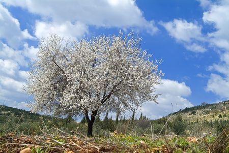 galilee: almond tree blooming in the Galilee, Israel Stock Photo