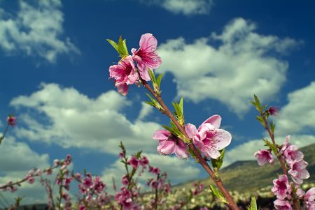 peach branch with flowers against cloudy blue  photo