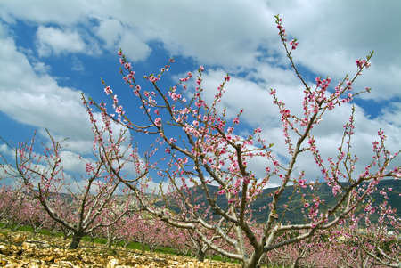 horizontal image of peaches orchard blooming photo