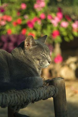 sun bathing: grey cat sun bathing wiyh closed eyes