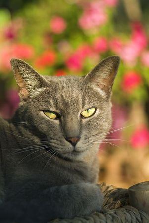 sun bathing: grey cat sun bathing