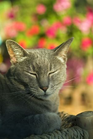 sun bathing: gray cat sun bathing with closed eyes Stock Photo