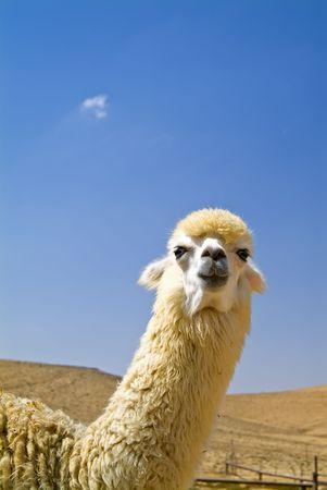 white alpaca looking at camera photo