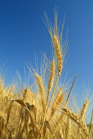 close-up of stalk of wheat in the field