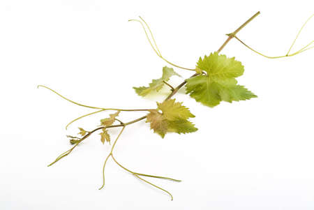 young and fresh grapevine isolated on white