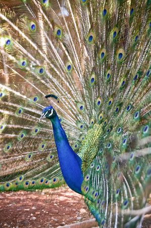 peacock with his tail spread open photo
