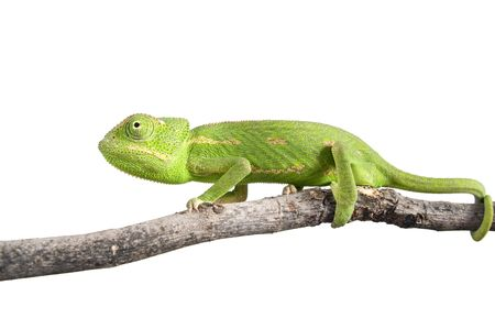 green chameleon on a branch isolated on white photo