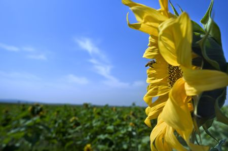 bee hovering in front of a sunflower  photo