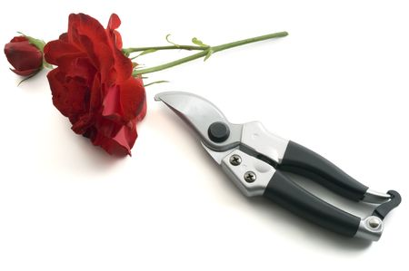 shears: pruning shears and red rose isolated on white