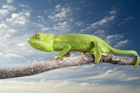 green chameleon on a branch isolated on white Stock Photo