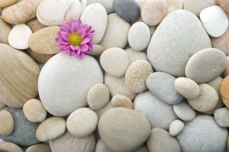 closeup of pebbles background with a pink daisy