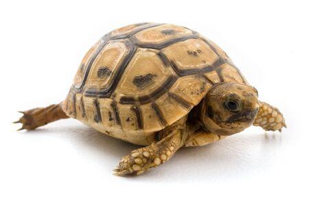 turtle isolated on white photo