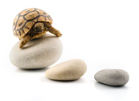 turtle on pebbles isolated on white photo