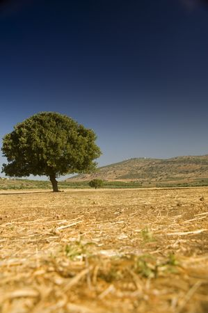 lonely oak in an empty  field Stock Photo - 3228638