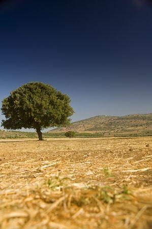 lonely oak in an empty  field Stock Photo - 3228638