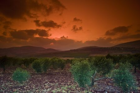 galilee: sunset over an olive grove in the Galilee, Israel Stock Photo