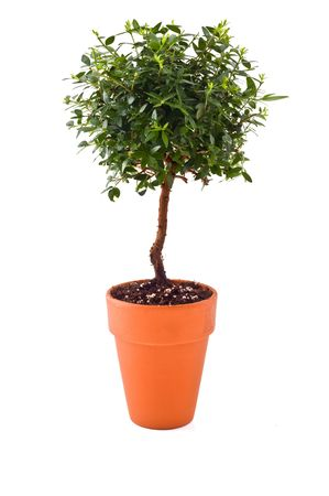 terra: small tree in a Terra cotta  pot isolated on white