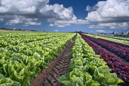 lettuce field in the Sharon region, Israel