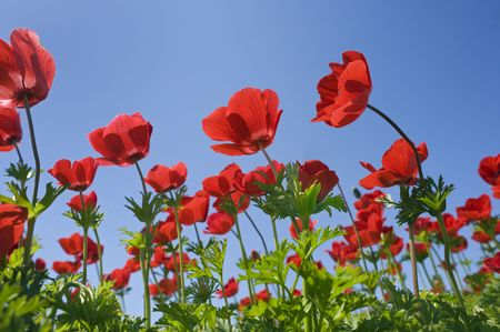 Poppy Anemone in the field from bellow photo