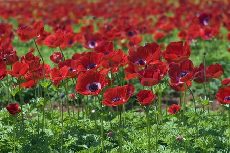 agricultur field of Poppy Anemone  photo