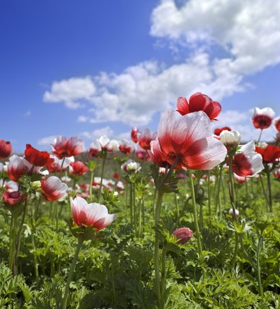 white and red Poppy Anemone in the field  photo