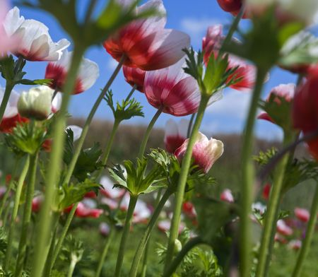 white and red Poppy Anemone in the field from below photo
