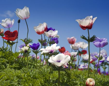 white red and purple Poppy Anemone in the field  Stock Photo