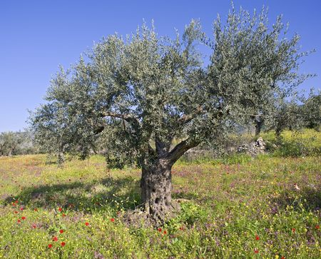 galilee: anciant olive grovewith wild flowers  in the Galilee, Israel  Stock Photo