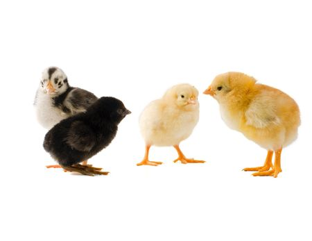 croud: one chick standing alone from a group of three other diffrent chicks Stock Photo