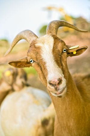 caprine: close up portrait of a domestic nubian goat Stock Photo