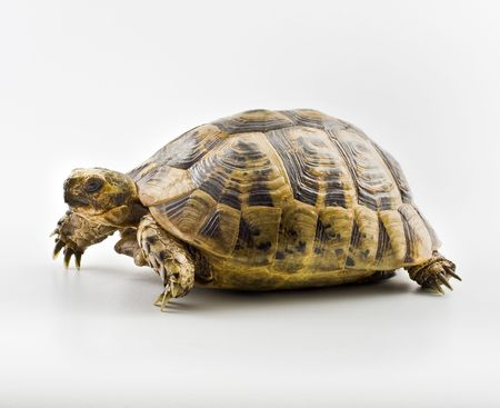 Spur-thighed Tortoise isolated on white Stock Photo