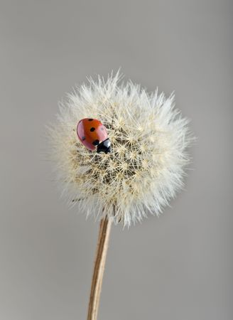 ladybug on dandelion photo