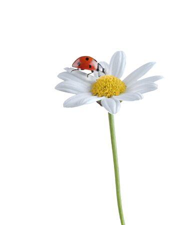 ladybug on a white flower isolated on white Stock Photo