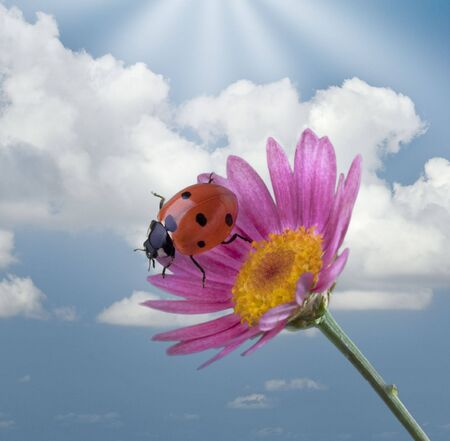 ladybug on a pink flower against cloudy blue sky photo