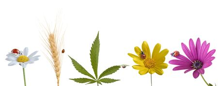 ladybug on pink yellow and white flowers, cannabis leaf and wheat ear isolated on white photo