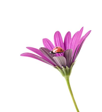 ladybug on a pink flower isolated on white photo