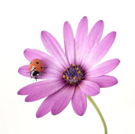ladybug on a pink flower isolated on white