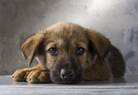 mixed German Shepherd puppy on gray background