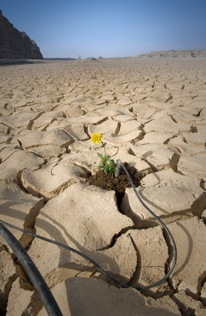 small plant with yellow flower cracked soil with drip irrigation system photo