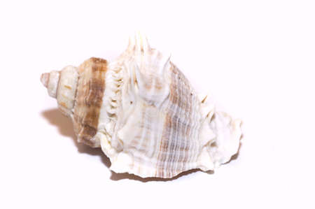 beautiful sea shell, isolated on white, copy space photo