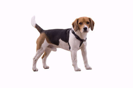lovely and cute small beagle dog, isolated on white