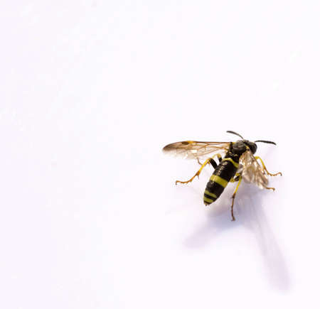 closeup on a beautiful small wasp, reflected on a white background