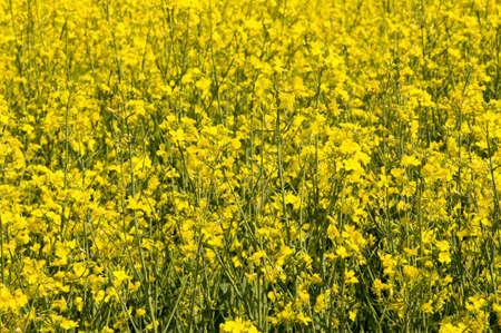 closeup on beautiful yellow vibrant rape field Stock Photo