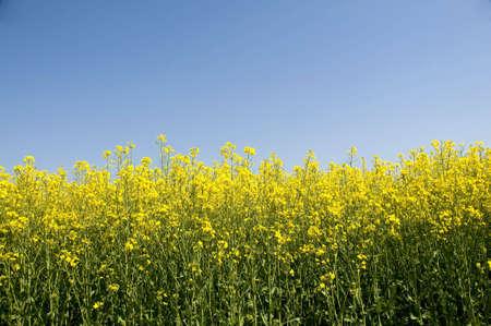 beautiful rape field on a clear blue sky of spring