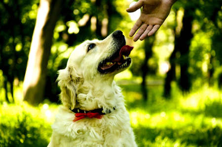 the best friend anyone could ask, a loyal golden retriever Stock Photo