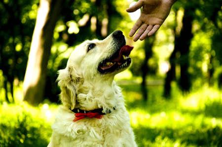 the best friend anyone could ask, a loyal golden retriever Banco de Imagens