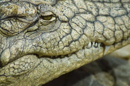 closeup on crocodile head photo