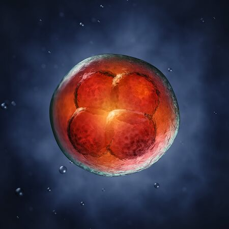 Four-cell embryo  , 3d illustration