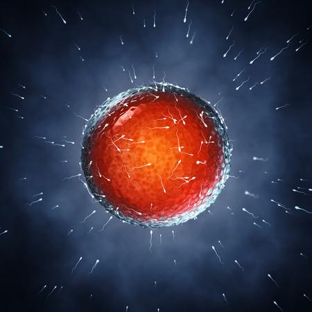 espermatozoides: Los espermatozoides fertilizar un óvulo